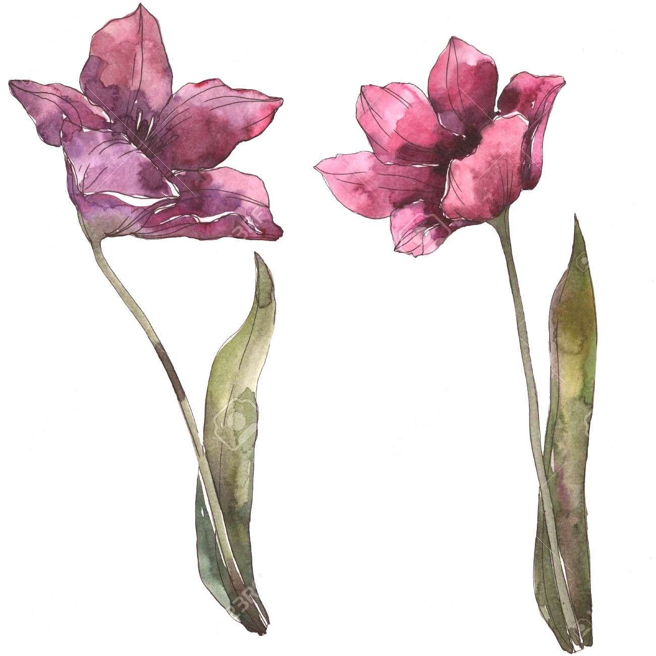 tulip floral botanical flowers. Wild spring leaf wildflower isolated. Watercolor background illustr